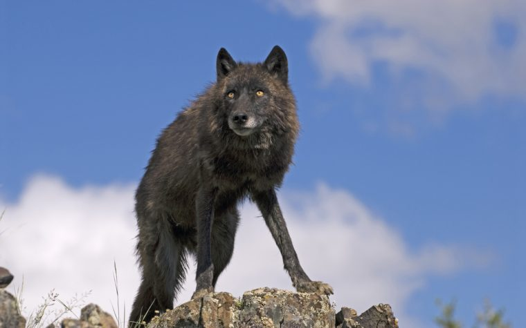 Using Light to Fight Lupus the Wolf